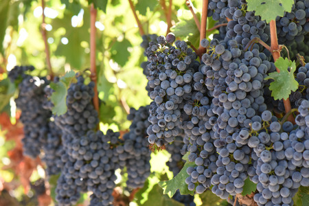 grapes: Red Wine Grapes on the Vine