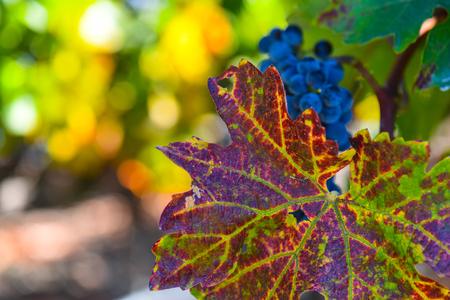 Grapevine in the Autumn Season