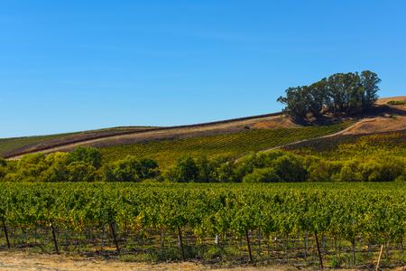 wineries: Vineyard in Napa Valley California