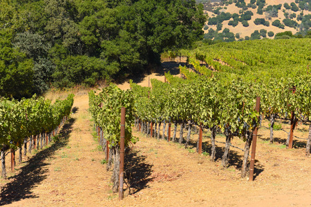 Napa Valley California Vineyard Stockfoto