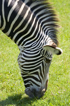 Zebra are known for their trademark black and white stripes. This is an example of a Zebra feeding on green grass.