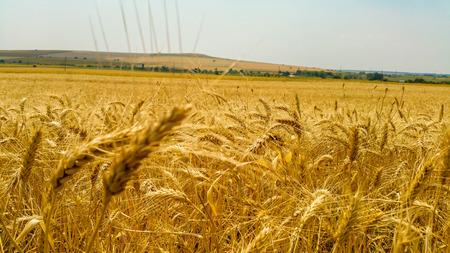 wheatfield: Wheatfield between mountains