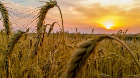wheatfield: Ears of wheat - Wheatfield in the sunset Stock Photo