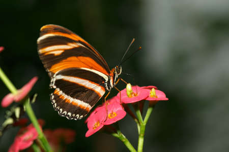 lepidoptera: butterflies and flowers lovely