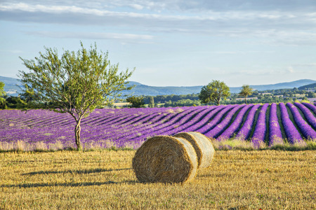 Lavander fields with hay rolls on the front view, Provence, France Stockfoto