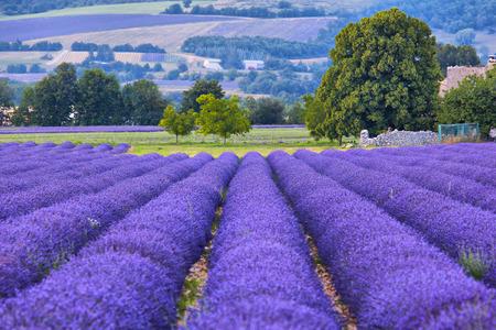 lavander: Lavander fields in Provence, France
