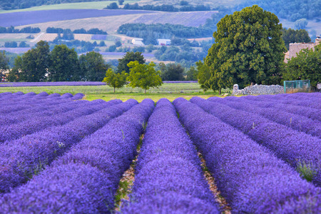 Lavander fields in Provence, France