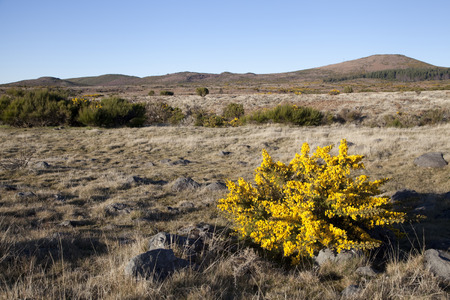 plateau of flowers: Highland plateau Pul da Serra with yellow flowers on the front of view, Madeira, Portugal