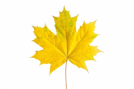 maples: Isolated yellow maple leaf on white background