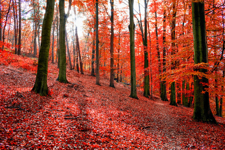 Trees with red autumn leafs in Sonian Forest near Brussels, Belgium