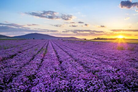 Rural landscape with field of purple blooming garlic on sunset and mount Sleza on background, Lower Silesia, Poland Standard-Bild