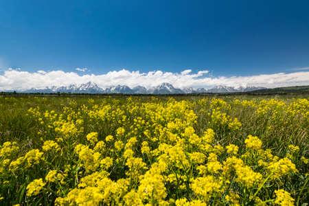 teton: yellow meadows at grand teton national park