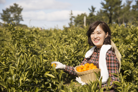 Middleaged Asian Woman Picking Mandarin from a Tree