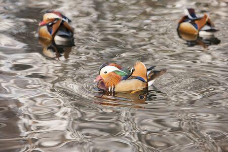 Mandarin ducks floating in a pond Stock Photo