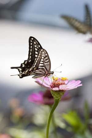 spotted: Large spotted butterfly and Zinnia Stock Photo