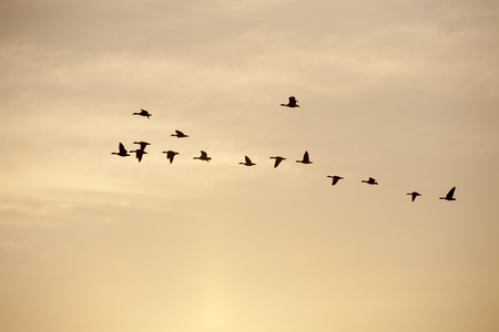 migratory: Flock of migratory birds