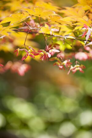 color photographs: Double winged seeds, maple tree,