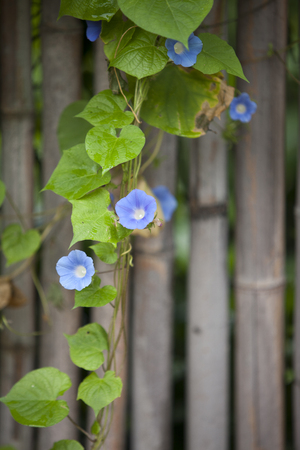 color photographs: Morning Glory Flower