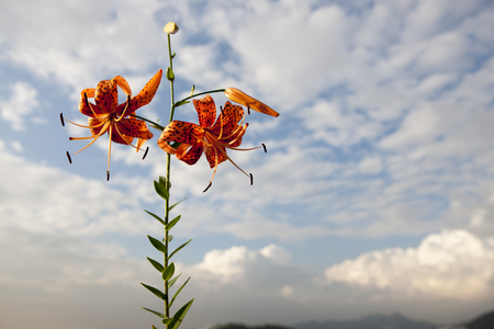 Tiger Lily, Wildflowers, South Korea