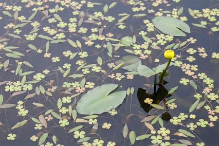 marsilea: Marsilea quadrifolia(European water clover, Water shamrock, Pepperwort, Four-leaf clover) and  Water lily, South Korea, Stock Photo