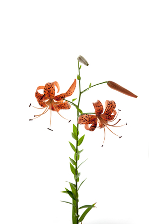 tranquillity: Tiger Lily, Wildflowers, South Korea