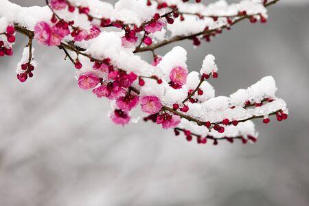 Corea del Sur; Gyeongsangnam-do, Tongdosa, ciruelos; Ciruela; Nieve