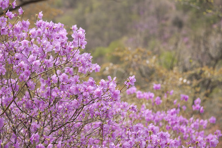 goryeosan of spring flowers Rhododendron, South Korea