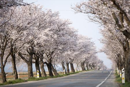 raod: South Korea, Jeollanam-do, Yeongam, Cherry blossom raod