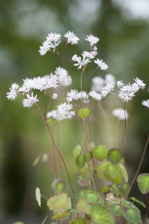 South Korea wildflowers, Thalictrum coreanum,  Korean meadow-rue.