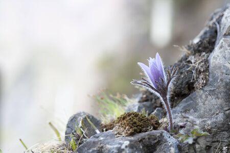 pasqueflower: Donggang, South Korea, pasqueflower