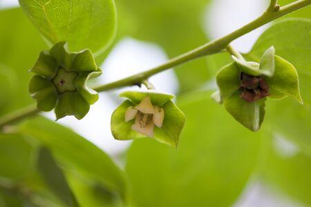 diospyros: Persimmon flower, Diospyros kaki Stock Photo