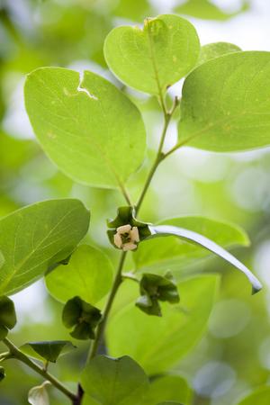 Persimmon flower, Diospyros kaki Stock Photo