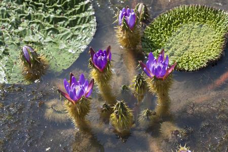 nymphaeaceae: Prickly waterlily(Fox nut), Nymphaeaceae,