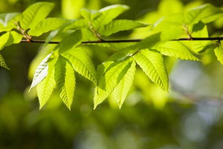 oka: oak tree, leaf, South Korea;