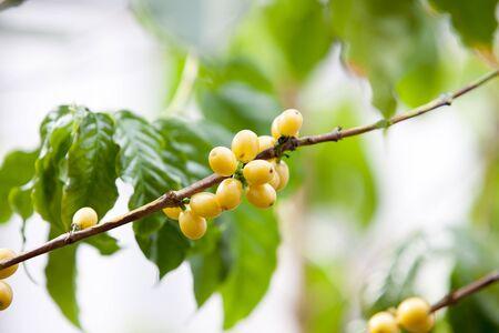 arbol de cafe: Coffee Tree, cubierta