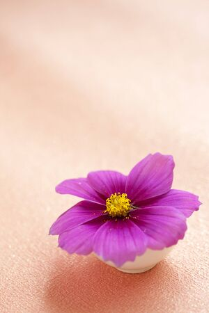 cosmos flowers: Cosmos flowers close-up