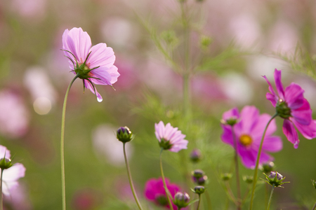to trickle: Cosmos flowers in the rain
