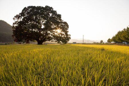 The sunlight shines through old zelkova trees: Chungbuk,South Korea Stock Photo