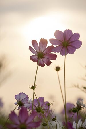 cosmos flowers: Cosmos flowers with the Sunrise Stock Photo