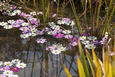 bellevue: Cosmos flowers fallen on the pond Stock Photo