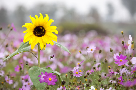 Sunflowers and cosmos flowers