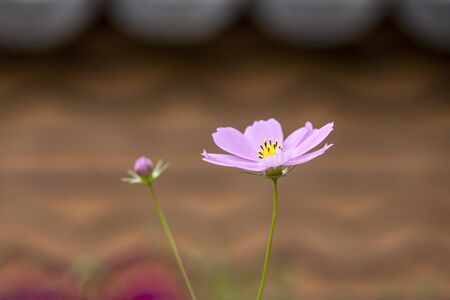 Cosmos flowers close-up