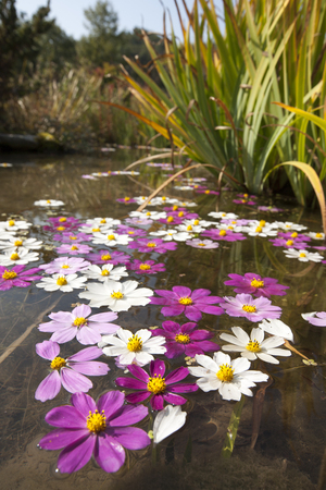 Cosmos flowers fallen on the pond Stock Photo