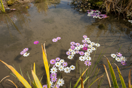 cosmos flowers: Cosmos flowers fallen on the pond Stock Photo