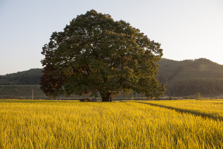 Old trees and autumn the fields : Chungbuk,South Korea