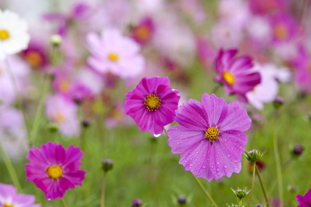 Cosmos flowers in the rain