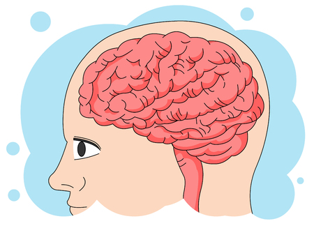 Human anatomy: Brain Illustration