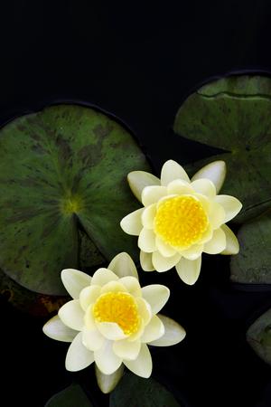 phlegm: Lotus