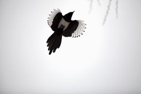 magpie bird Stock Photo