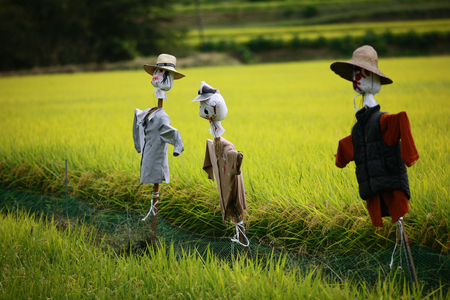 Scarecrows on the rice field